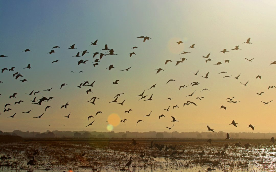 From the Pacific Flyway : Decoy
